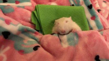 まるでシルバニアファミリーの世界♪今にも眠りそうな小さなネズミの可愛すぎる姿