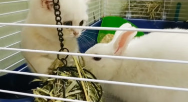 子猫がウサギのお宅訪問!体の大きさも色も似たもの同士、仲良くできるかな?