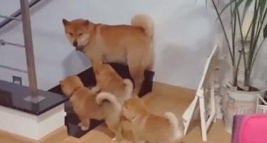 イクメンになれない柴犬のパパが子犬たちを守る姿にほっこり