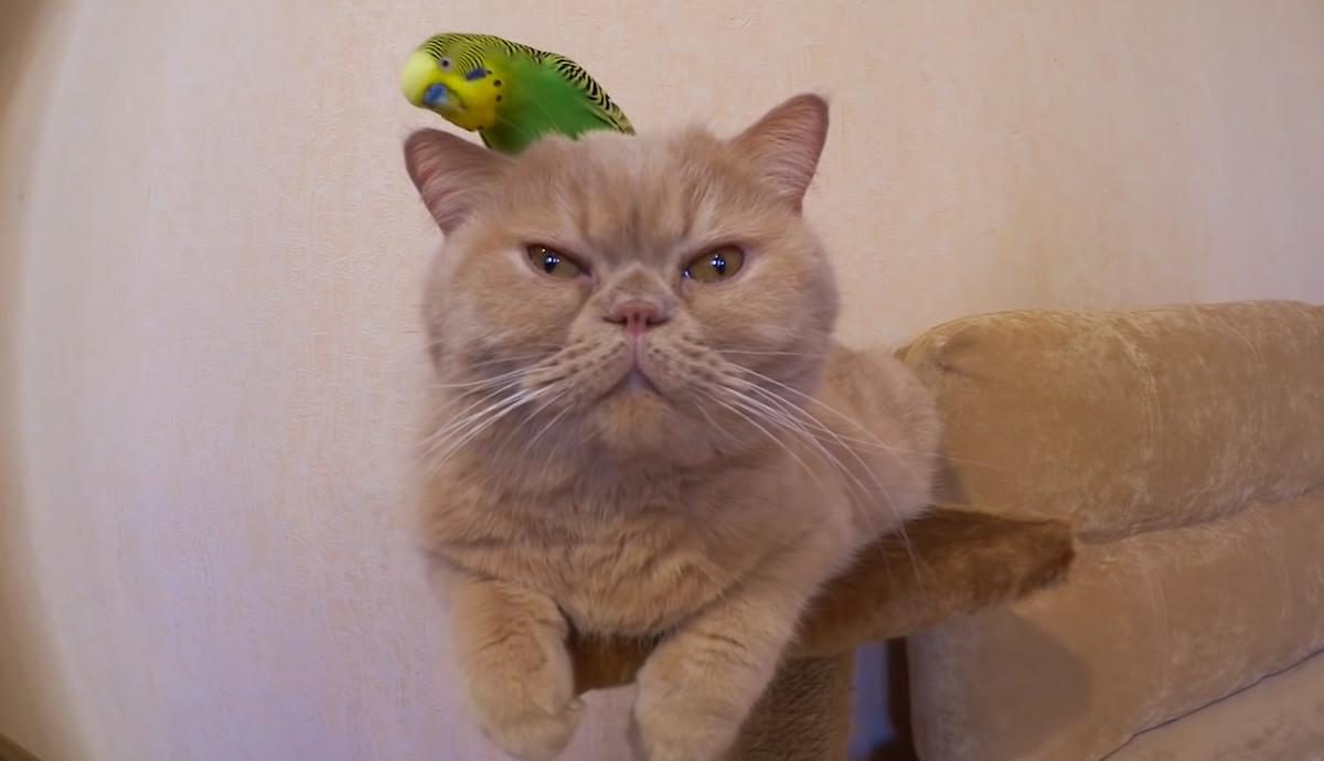先輩風を吹かせるセキセイインコと波風立てない主義の猫のやり取り ...