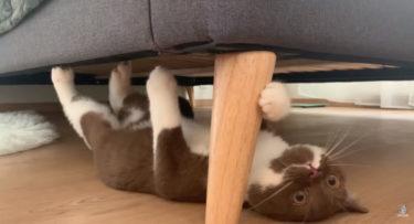 ブリティッシュショートヘアの子猫がベッドの裏で逆さになって走っている姿が可愛い